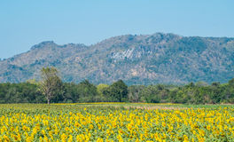 Sunflower and mountain. Are in thailand Stock Photo