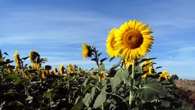Sunflower moved by the wind stock video footage