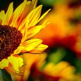 Sunflower. From my garden Royalty Free Stock Images