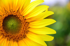 The sunflower. Sunflower named after the dialect of West fried lotus plant that same year (Annual plant) in the Asteraceae are eclectic base of the flower. ( royalty free stock photography