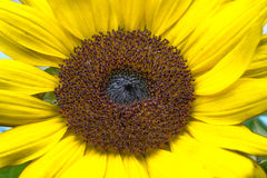 The sunflower. Sunflower named after the dialect of West fried lotus plant that same year (Annual plant) in the Asteraceae are eclectic base of the flower. ( Stock Image