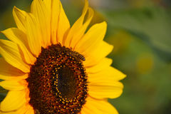Sunflower. Natural、plant、flowers、sunflower、faceplate、The botanical garden、The environment Royalty Free Stock Photo