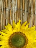Sunflower natural background. Sunflower in front of a brown natural background Stock Photo