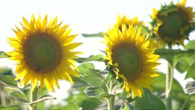 Sunflower natural background. stock video footage