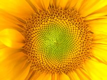 Sunflower natural background. Sunflower blooming. Close-up. Sunflowers symbolize adoration, loyalty and longevity. Sunflower natural background. Sunflower stock photo