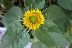 Sunflower natural background, Sunflower blooming. Royalty Free Stock Image