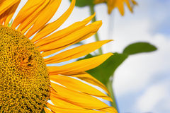 Sunflower natural background Royalty Free Stock Photo