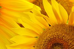 Sunflower natural background. Sunflower blooming. Close-up of sunflower royalty free stock photography