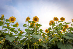 Sunflower natural background, Sunflower blooming, Sunflower oil. Improves skin health and promote cell regeneration, Thailand Royalty Free Stock Photography