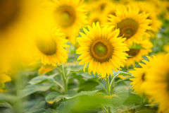Sunflower natural background, Sunflower blooming, Sunflower oil. Improves skin health and promote cell regeneration, Thailand Stock Photography