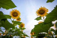 Sunflower natural background, Sunflower blooming, Sunflower oil. Improves skin health and promote cell regeneration, Thailand Royalty Free Stock Photo