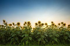 Sunflower natural background, Sunflower blooming, Sunflower oil. Improves skin health and promote cell regeneration, Thailand Stock Image