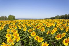 Field of flowering sunflowers. royalty free stock images