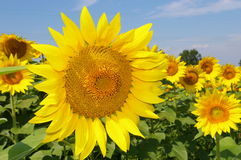 Sunflower. Nature in all her glory and detail is revealed in this sunflower. And, yes, while it is a sunflower it is also happiness, summer, fun and joy. This Royalty Free Stock Photography