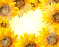 Sunflower nature background Royalty Free Stock Photo