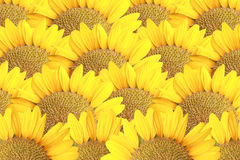 Sunflower for the nature background. Royalty Free Stock Photo