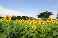 Sunflower in nature garden Stock Photos