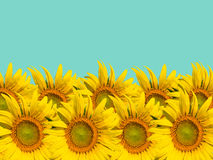 Sunflower nature summer background Royalty Free Stock Image