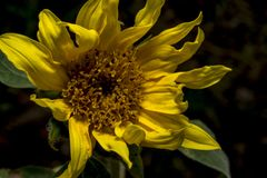 Sunflower near the road in the field royalty free stock photography