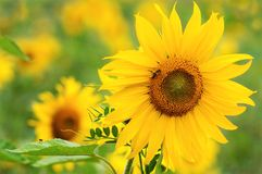 Sunflower at nice backround Royalty Free Stock Photos