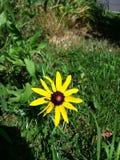 Sunflower. A nice lonesome sunflower Stock Photos