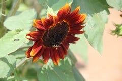 Sunflower. Nice orange sunflower in backyard Royalty Free Stock Photos