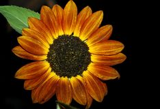 Sunflower At Night. An Orange Sunflower in the Dark Royalty Free Stock Photography