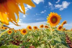 Sunflower. No bulesky Stock Photography