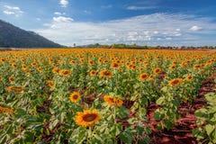 Sunflower. No bulesky Royalty Free Stock Photo
