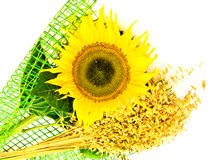 Sunflower and oats Stock Photo