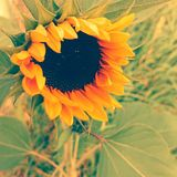 Sunflower. In old style royalty free stock images