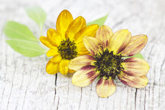Sunflower on old wooden background Royalty Free Stock Photo