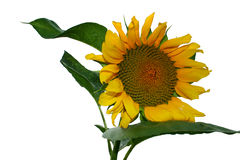 Free Sunflower On White Royalty Free Stock Photo - 3173475