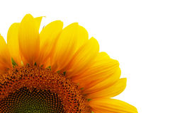 Free Sunflower On White Royalty Free Stock Images - 5232609