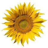 Sunflower On White Background Stock Photo