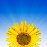 Sunflower text space Royalty Free Stock Image