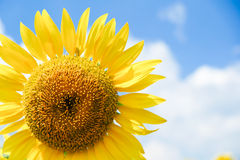 Sunflower. One sunflower and blue sky Stock Images