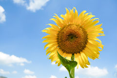 Sunflower. One sunflower and blue sky Royalty Free Stock Photography