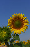 Sunflower in the open field, beautiful sunny day stock images