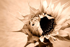 Sunflower opening Stock Photos