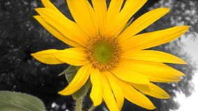 Sunflower opening her petals stock image