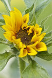 Sunflower opening Stock Images