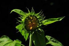 Sunflower opening up stock photo