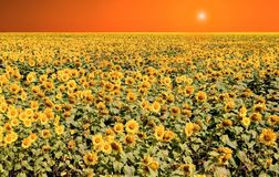Sunflower orange sky Royalty Free Stock Image