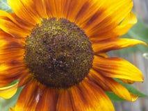 Sunflower. Orange and yellow sunflower Stock Photography