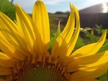 Sunflower orchard stock photo