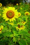Sunflower in organic farm of Thailand Stock Photo