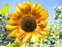 Sunflower outdoor Stock Photography