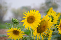 The sunflower Outdoor in thailand Stock Images