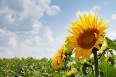Sunflower outdoors Stock Images